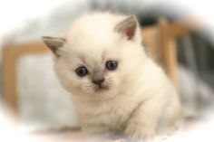 Jolie Poupée - #british #britishcat #britishlovers #britishshorthair #lilaspoint #britivana #colorpoint #colourpoint #joliepoupee #love #cute #cuteness #cat #chat #cats #chats #chaton #kitten #kitty #socute #mimi #mignon #poupee #jolie #yeuxbleus #lilas #loof #beaute #beauty #moelleux #douceur #doux #lovely #loof #lilaspoint #fluffy #fluffycat #fluffyball #kawaii