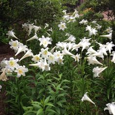 Field of Easter Lilies | Easter lilies blooming