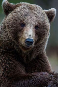 guruwithin: beautiful-wildlife: Mr Bear by Jamen Percy Selfie * my buddy * Beautiful Creatures, Animals Beautiful, Cute Animals, Bear Pictures, Animal Pictures, Panda Bear, Polar Bear, Grizzly Bears, Photo Ours