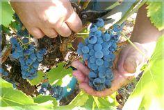 Petite récolte mais belle qualité pour un très beau millésime 2016 - http://www.masfarchat.fr/millesime-2016-de-qualite.html