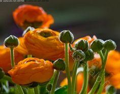 Kuvahaun tulos haulle oranssi kukkakimppu