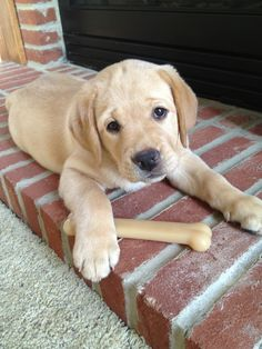 Labrador Retriever Lucy is an adorable yellow lab who belongs to Ashley one of our Client Service Senior Account Execs. Cute Puppies, Cute Dogs, Dogs And Puppies, Doggies, Animals And Pets, Baby Animals, Cute Animals, Big Dogs, I Love Dogs