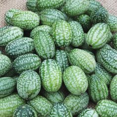 MELOTHRIA scabra - Cucamelon - Castravete mexican
