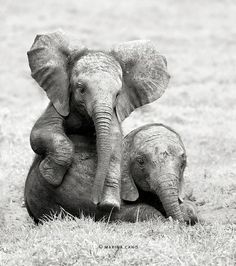 "Two baby elephants, resting their legs for a bit...""Why are you staring at us?"" lol..."