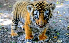 Adorable Baby Tiger Cub Glossy Poster Picture Photo Bengal Animals Jungle 2290
