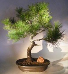 Japanese Black Pine Bonsai TreeArt Shaped Curved Strunk With Tiered Branching(pinus thunbergii 'mikawa')