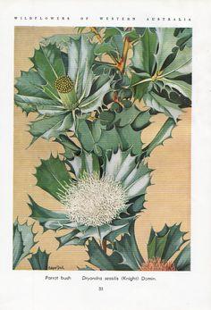 Parrot Bush Australian Wild flower print by VintageAndNostalgia, $14.95