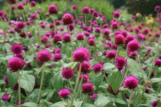 Gomphrena can be big, flowering annuals. All-Around Purple gomphrena is a plant that attracts loads of butterflies all summer long. (Photo by Gary Bachman) Purple Flower Names, Purple Flowers, Globe Amaranth, Drought Resistant Plants, Drought Tolerant, Bog Garden, Tall Plants, Made Goods, Native Plants