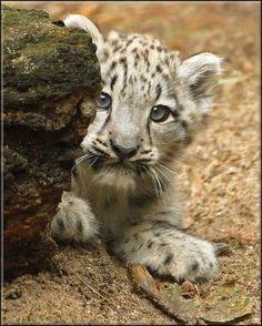 Snow Leopard Cub. ..