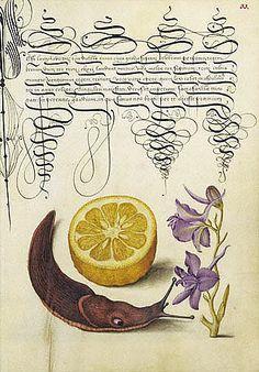 Joris Hoefnagel. Sour Orange, Terrestial Mollusk and Larkspur, 1596