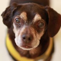 Cute Muttville mutt: Autumn 2291 (Beagle mix   Female   Size: small (6-20 lbs))