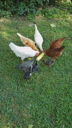 Diy Chicken Toys, Cute Chicken Coops, Chicken Coop Run, Chicken Treats, Backyard Chicken Coops, Chickens Backyard, Adorable Cute Animals, Cute Baby Animals, Funny Animals