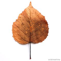 Dried leaf showing leaf stem and leaf veins.