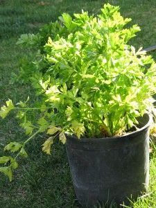 Grow celery year round