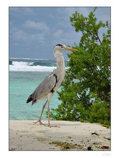 Helengeli, Maldives Copyright: did berard Sketch Painting, Big Bird, Beautiful Birds, Maldives, Pet Birds, My Best Friend, Baby Animals, Flamingo, Islands