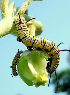 Caterpillars. Caught hundreds as a kid. We raised them. Tons became Butterfly's and Moths.