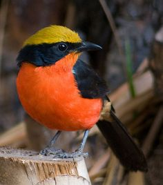 Yellow-Crowned Gonolek. Gambia and Senegal