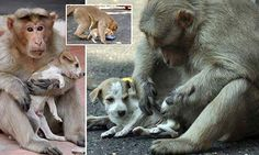 A caring monkey and a tiny puppy are charming locals in the city of Erode, in southern India, after the monkey began feeding, cleaning and protecting the puppy as it would its own child.
