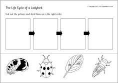 Life cycle of a ladybird/ladybug cut and stick (SB9618) - SparkleBox