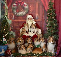 Santa & Shelties!!