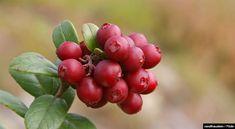 Já ouviu falar em Ligonberries?  Um super alimento como as outras berries, Lingonberry pode ajudá-lo a proteger o corpo contra os danos dos radicais livres e até atuar na prevenção de doenças.