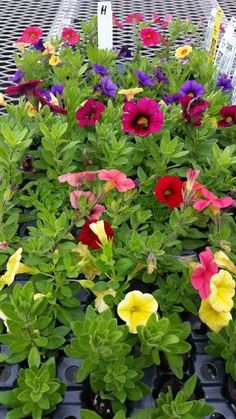 102 CALIBRACHOA Special Mix 17 Different Plants Mix Adoption Fundraiser 467 H #ComboMixedVariety