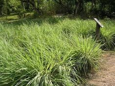 """""""Fresh Lemon Grass Fields In Israel Become Mecca For Cancer Patients"""" A drink with as little as one gram of lemon grass contains enough citral to prompt cancer cells to commit suicide in the test tube according to new Israeli research. Garden Pool, Herb Garden, Garden Plants, Garden Landscaping, Herb Plants, Terrace Garden, Vegetable Garden, Grow Lemongrass, Mosquito Repelling Plants"""