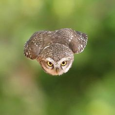 Great Free Pet Birds photography Popular If you share your life — and home — with a puppy bird, containing mess and keeping the cage clea Beautiful Owl, Animals Beautiful, Cute Animals, Animals Dog, Beautiful Pictures, Owl Photos, Owl Pictures, Wildlife Nature, Nature Animals