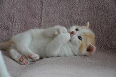 British Shorthair Kitten, Cattery Junando's, The Netherlands