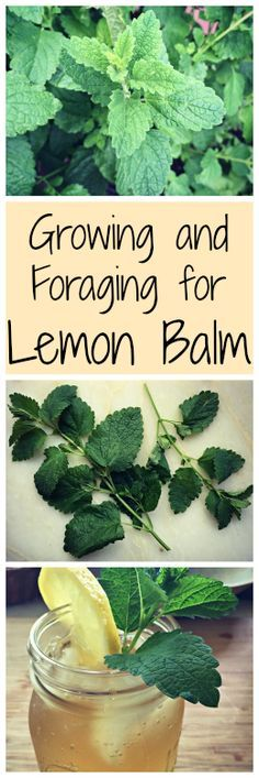Growing and Foraging for Lemon Balm~ The lemony mint family plant that may already be growing in your yard. Plus an iced tea recipe! www.growforagecookferment.com