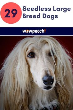Large Dog Breeds That Don't Shed - WowPooch 29 Dog That Dog That Don't Relaxing Weekend Funny Anniversary Dog Breeds List, Large Dog Breeds, Large Dogs, Irish Terrier, Boston Terrier Dog, Dog Breeds That Dont Shed, Black Russian Terrier, Dog Varieties, Group Of Dogs