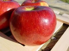 """Stark BraeStar Apple """"No better Braeburn to be found than Stark® BraeStar™! This modest-size tree bears early and heavy. Stores better than the majority of apples and is one of world's best eating apples! Best pollinators: Stark® Lodi, Starkspur® UltraMac™ or Cortland. Ripens late October."""""""