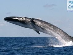 Spectacular fin whale breach a rare sight - GrindTV.com  The fin whale, also called the finback whale, razorback, or common rorqual, is a marine mammal belonging to the suborder of baleen whales. Wikipedia Scientific name: Balaenoptera physalus Rank: Species Higher classification: Balaenoptera