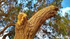 Quebranto #broken     #tree #old #wood #experience #grandfather #travelphoto #travelling #travel #photography #myphotography #mytravelgram #egypt #egipto