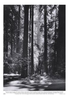 Ansel Adams - Redwoods, Founders Grove - Fine Art Print