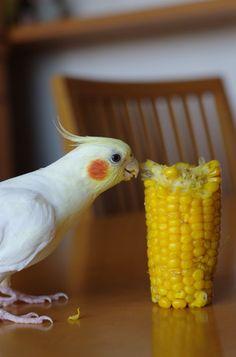 Awww little tiel nibbling on corn!