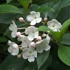 Luculia-grandiflora.jpg