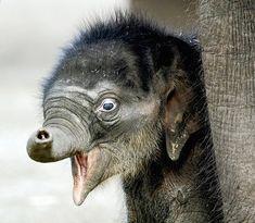 Very new baby elephant.
