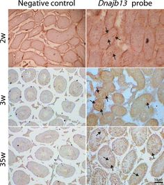 The result of ISH in mouse testis at various developmental periods.