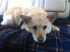 ADOPT Chloe: Shiba Inu, Dog; Charlotte, NC