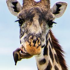 OH MY!!!! ALL-NATURAL DENTISTRY: This little bird helps a giraffe maintain good oral hygiene!