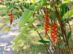 Isolada, a begônia (Begonia cinnabarina) não chama muita atenção, mas se cultivada num vaso coletivo ou criando um maciço como o da foto, cria um ponto de cor muito gracioso no jardim. Use para valorizar o gramado ou uma escadaria.