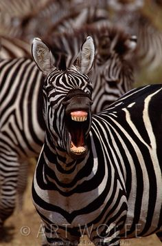 Africa | Burchell's zebra, Masai Mara National Reserve, Kenya |  © Art Wolfe from his Humor Series