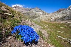 Spring Gentian {Gentiana verna subsp. verna} floweing on mountainside. Aosta Valley, Monte Rosa Massif, Pennine Alps, Italy. July. Photo by Alex Hyde