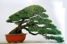 Bonsai Indoor Bonsai, Bonsai Plants, Bonsai Garden, Cactus Plants, Bonsai Art, Bonsai Trees, Miniature Plants, Plant Art, One Tree