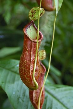 The Garden Geeks Plant of the Day: Tropical Pitcher Plant (Nepenthes x coccinea) Perennial-Climber  Zone 14