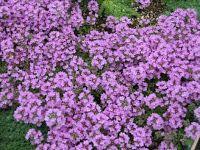 11 Beste Afbeeldingen Van Paarse Vaste Planten In 2014