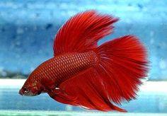 Belezas Aquáticas: Peixes ornamentais