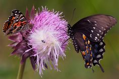 SHARING A MUSK THISTLE are probably a great spangled fritillary on the left and a black swallowtail on the right. The beetle in the middle didn't identify itself. It is musk thistle seed production and dispersal season. They are so noxious--ruining pastures--that in Missouri they have legal status and landowners are required to rid their pastures of them, and can be prosecuted if they don't. Disposing of them is problematic. Consult a good source. Click. (6/8/13 Peace Valley, Missouri.