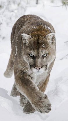 The cougar, or mountain lion, or puma is the largest of the small cats.